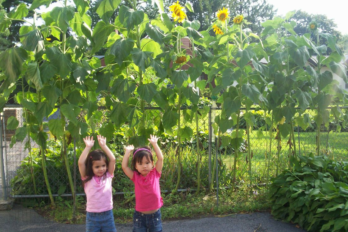 Seed Day Care Center (The) Photo - We planted and grew huge sunflowers
