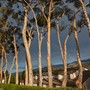 Cate School Photo #5 - Eucalyptus trees on campus