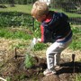 Montessori School Of Ojai Photo #3 - Students spend a portion of each week in the garden, cultivating, weeding, watering, learning and enjoying the experience.